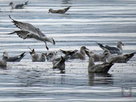 Seagulls Congregrating by wolfwings1