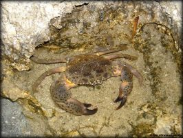 The Crab by Rivenna