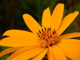 Yellow beauty by robesauer