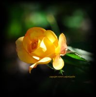 Sunny for you... by LadyAliceofOz