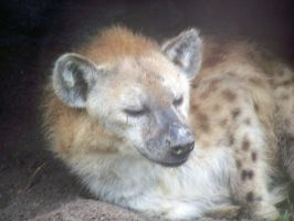 Hyena Sleeping by Malakhite