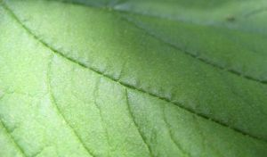 Leaf Texture 2 by ErrantDreams