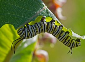 Hungry Monarch Caterpillar by boron