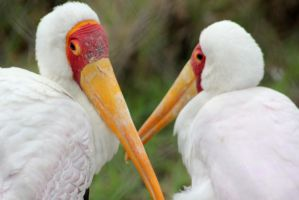 Yellow billed storks by MaresaSinclair