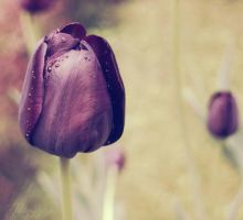 Tulips by Alessia-Izzo