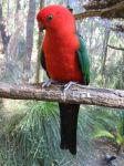 red parrot by kayne-stock