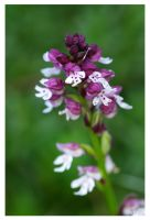 col du somport 18 orchidee by raskal27600
