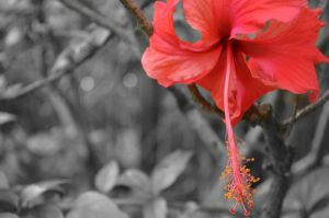 Hibiscus by tangeloskye