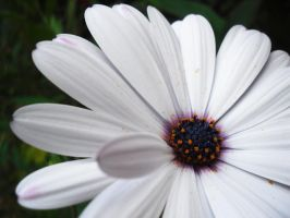 White Flower I by sharpcrayon