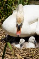 Mute swan on nest with cygnets by D-Maxey