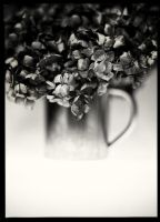 Withered Hydrangea by HorstSchmier
