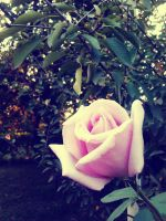 Rosey by MishUMuch