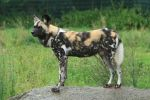 African Wild Dog Stock by neverFading-stock