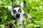 Ringtailed Lemur by ARC-Photographic