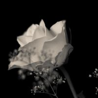 Rose in bw by DeborahBeeuwkes