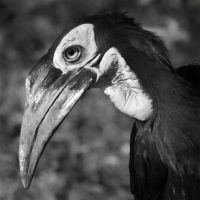 Hornbill by clippercarrillo