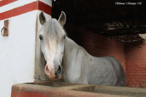 PERUVIAN PASO HORSES: A mane like the ashes 2 by she-rockslml8