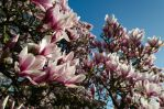 Magnolias by BiodiVersitY