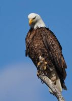 Bald Eagle - Fearless by JestePhotography