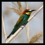 Bee-eater - Merops apiaster by invisiblewl