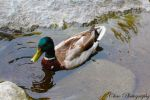 Handsome Duck by mmym101
