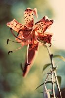 Flower bokeh by kailay