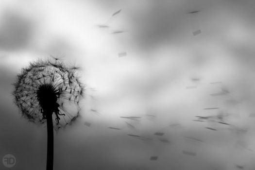 dandelion black and white by sp333d1