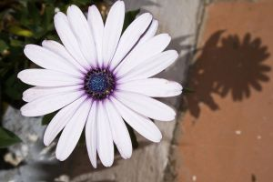 Flor Blanca y Purpura by SuperStar-Stock
