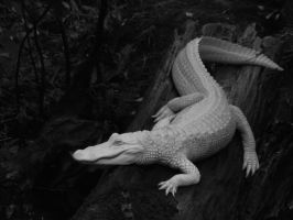 Albino Alligator by blepfo