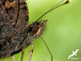 Detail of Butterfly by albatros1