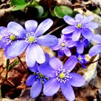 Its Spring When The Blue Anemone Blossoms by eskile