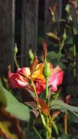 Roses 057 by DarlingChristie