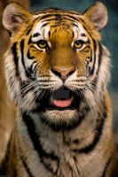 Siberian Tiger by RAIN2RIVER66