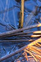 Reeds in Ice by organicvision