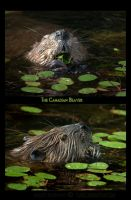 The Canadian Beaver by Violet-Kleinert