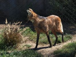Maned Wolf walking by photographyflower