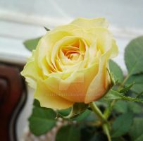 yellow rose by Marianna9
