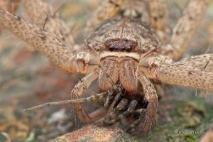 Huntsman eating spider by melvynyeo