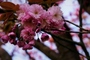 Cherry Blossoms by Chococosmos