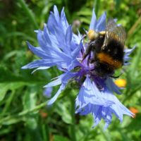 bumblebee on corn flower by Paul774