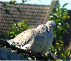 Collard Doves by only-Freak-by-nature