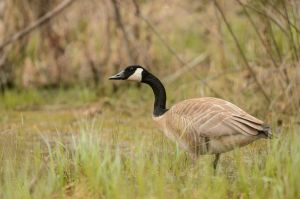 Canada goose - Wary by JestePhotography