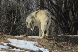 Wolf Stock Ecomuseum 79 by wolf-alchemy