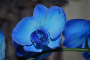 Blue Orchid by Singing-Wolf-12