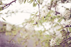 40 - 365 - White Blossom by JeneeMathes