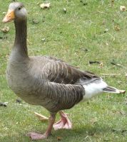 Unidentified geese 5 by Dan-S-T