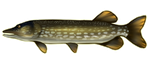 Northern Pike Fish by noebelle