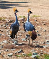 East African Crowned Cranes by dkbarto