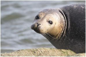 Wild Harbor Seal by Ryser915
