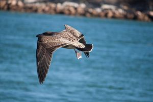 Flying Sea Bird 3 Stock by CNStock